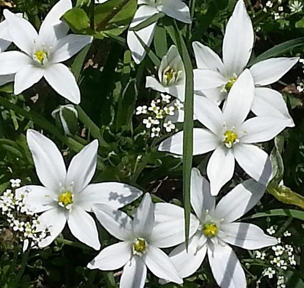 fleur-bach-29-etoile-bethleem
