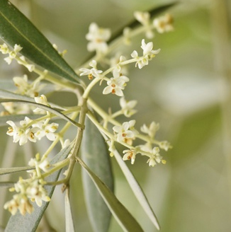 sommeil-enfant-fleurs-bach-olive